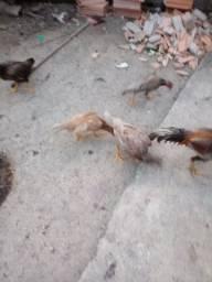 Vendo 5 galinhas