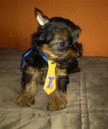 Filhote cachorro macho yorkshire com 53dias a data de hoje 21/09/2020