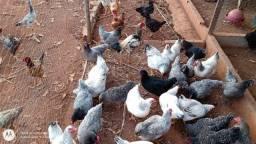 Lote de galinha lebel rouge