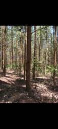 Sítio com 10 alqueires 50 mil pés de eucaliptos