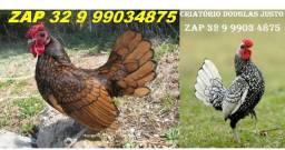 = Ovos galados férteis de galinha miniatura ' sebright prata dourado zebraite''¨@&%(58
