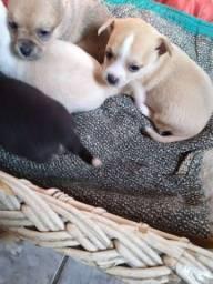 Título do anúncio: Chihuahua x pinscher
