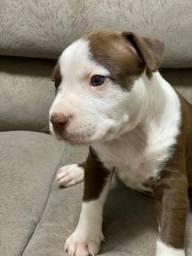 Pitbull Reserve hoje mesmo o seu + novo membro da família