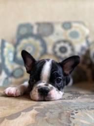Título do anúncio: Bulldog Frances Macho