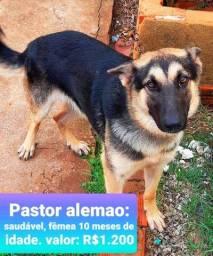 Título do anúncio: Pastor Alemão Femea