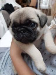 Título do anúncio: Filhote de Pug fêmea com pedigree