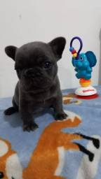 Título do anúncio: Vendo bulldog frances exótico blue