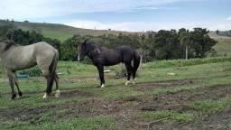 Título do anúncio: Cavalo garanhão machador negro