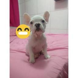 Filhote macho de Bulldog francês. $1800.