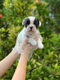Bulldog Francês Venha adquirir e levar ainda mais felicidade para sua casa