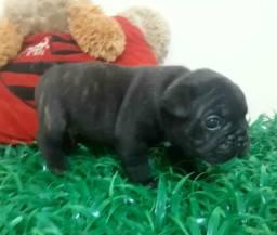 Bulldog francês para reserva só macho