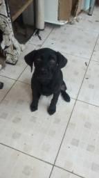 Cachorro Filhote Labrador Três Meses e Meio