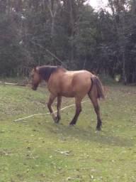 Cavalo gatiado crioulo