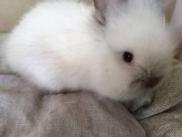 Mini coelho - filhote