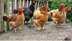 Título do anúncio: Vende-se galinha caipira boa  meu número *