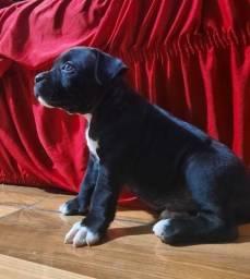 Título do anúncio: Cachorro Pit Bull macho