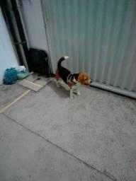 Filhote de Beagle, Imperdível promoção!