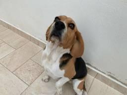 Vende_se cachorro beagle