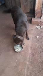 Labrador Fêmea Doação