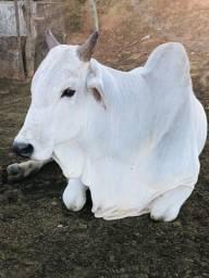 118 Vaca Parida e Solteira/ 3 Boi / 3 Cavalo/ Ordenha /m