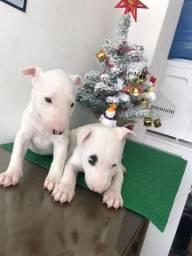 Bull Terrier Inglês filhotes a venda com garantias
