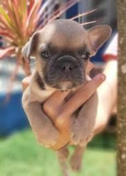 Bulldogs Franceses Exóticos - Blue Fawn, Blue Merle, Blue Pied -Machos e Fêmeas