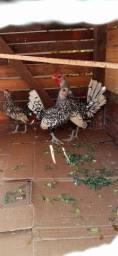 Galinha sebright Dourada e Prata ovos galados