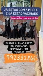 Título do anúncio: Pastor alemão preto 750  macho já estão com 3 meses e já e