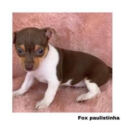 Título do anúncio: Fox paulistinha com pedigree e microchip em até 12x