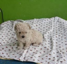Cachorro poodle toy macho