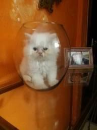 Título do anúncio: Vende-se gato persa