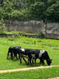 Título do anúncio: Mini vacas