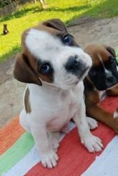 Vendo lindos Filhotes de Boxer prontos para entregar!