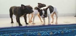 Plantel Bulldogue Inglês e Francês