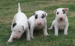Bull Terrier - Varias Cores (Pirata Valor Diferenciado)