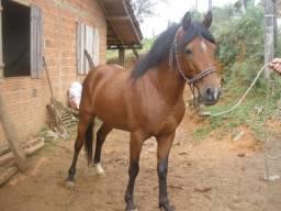 Cavalo petiço manso de montaria