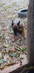 Cachorro Belga Mallinois macho R$600,00