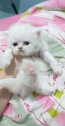 Filhote de gato persa himalaio