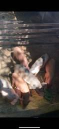 Porco caipira