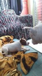 Filhote de pitbull femia