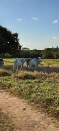 Vaca e Bezerra PO puro