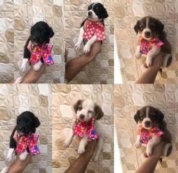 Título do anúncio: Ofertaço do dia pequenos preços poodle com shitzus tops