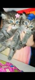 Título do anúncio: Gatos persas