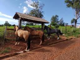 CAVALOS CRIOULOS (REGISTRADOS)