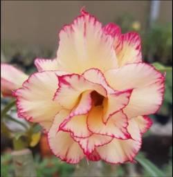Título do anúncio: Enxertos Rosa do Deserto