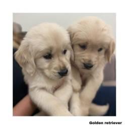 Título do anúncio: Golden Retriever com pedigree e microchip em até 12x
