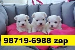 Canil Top Cães Filhotes BH Maltês Poodle Yorkshire Bulldog Pug Shihtzu
