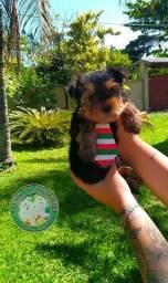 Micro baby face de Yorkshire terrier com Pedigree
