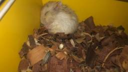Hamster novinho