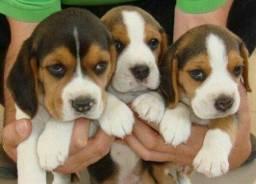 beagle lindos filhote porte pequeno